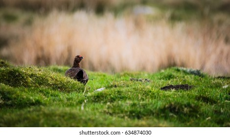 Grouse in the open fells