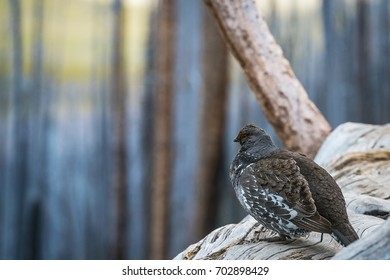 Grouse Sits on Fallen Tree Trunk
