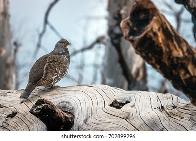 Grouse Sits on a Tree Trunk