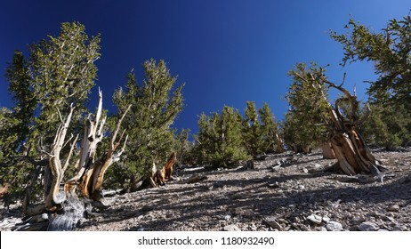 A grove of ancient Great Basin Bristlecone Pine trees on a rocky, barren slope in California's White Mountains. Some are over 4,000 years old.