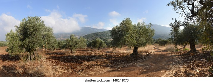Grove of the ancient olive trees in Galilee Mount Meron  Israel
