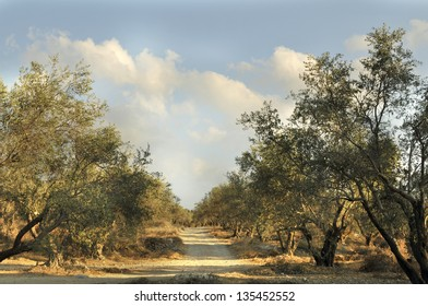 Grove of the ancient olive trees in Judea Hills, Israel