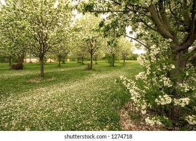 A grove of apple trees sheds its blossoms in early spring