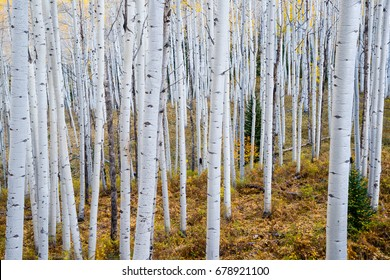 Grove of aspen trees in the Rocky mountains of Colorado