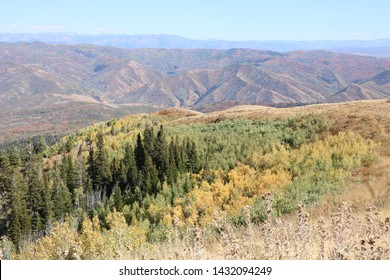 A grove of aspens turns yellow early in the fall season at the slopes of Big Mountain near Morgan, Utah.