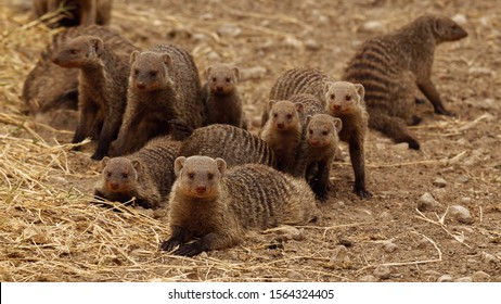 grove of Banded Mongoose (Mungos mungo) commonly found in the central and eastern parts of Africa