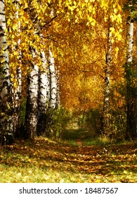 Grove of a birch in Russia autumn leaves  are painted in surprising yellow by color