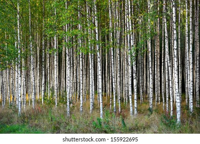 Grove of  birch trees in bright sunshine in late summer