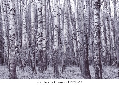 Grove of birch trees with silver overtone in horizontal position/Grove of birch trees with silver overtone