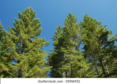 A grove of Douglas fir grows at the Oregon coast