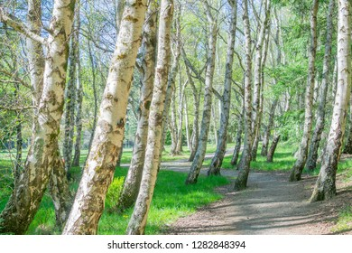 Grove gently leaning birch trees with path winding through them.