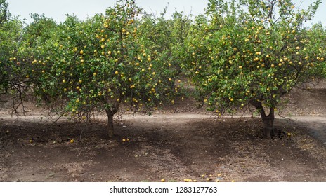 Grove of lemon trees.