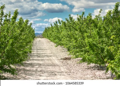 Grove of olive trees in Cieza in the Murcia region. Spain