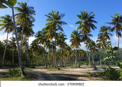 A grove of palm trees at Playa Rincon, a beach in the Dominican Republic