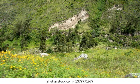 Grove of pine trees in a valley below the Devil's Nose Railroad near Alausi, Ecuador