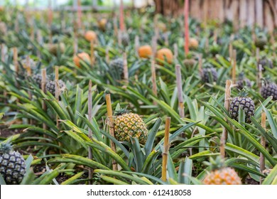 a grove of pineapples on a pineapple plantation