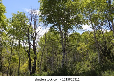 A grove of quaking aspen at Soldier Summit Utah in the Wasatch Mountains in May 2018