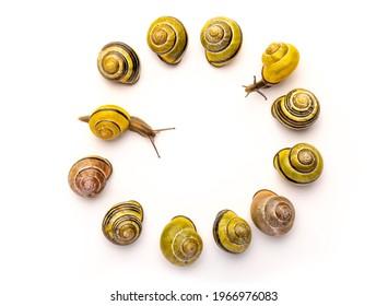 The grove snail, brown-lipped snail or Lemon snail is a species of air-breathing land snail, a terrestrial pulmonate gastropod mollusc.