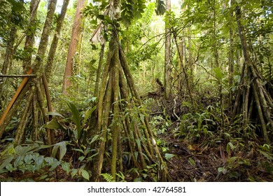 Grove of stilt rooted palm (Iriartea deltoidea) in the Ecuadorian Amazon