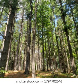 Grove of tall pines, Worcester, MA