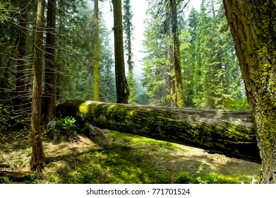 Grove of Trees in Sequoia Forest