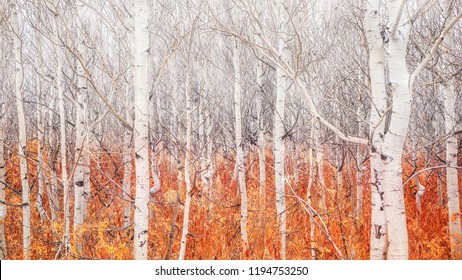 A grove of young aspen trees after their colorful autumn foliage has fallen to the ground. The contrast of white color above and the colorful ground below adds to the concept of change and transition.