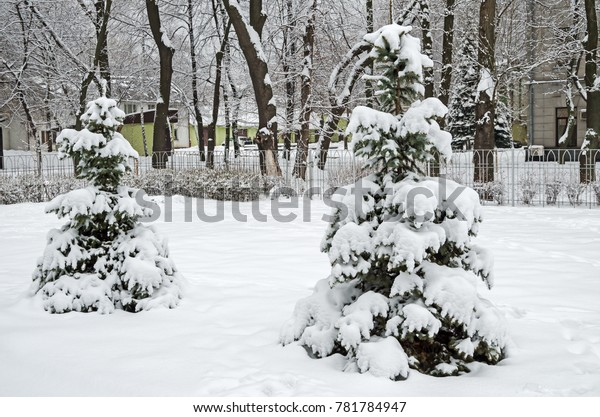 grove-young-spruces-against-background-6