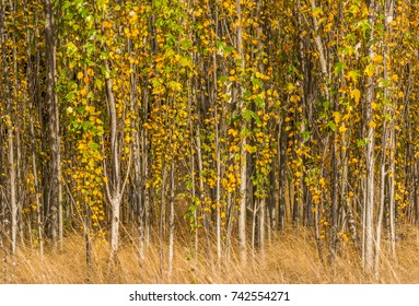 A grove of young trees crowded together with long dry grass in the foreground photographed in autumn at Magnuson Park, Seattle.