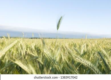 Grow lider, farm  grain one