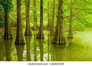 Grow in the pond of a natural park Wood of Taxodium distichum