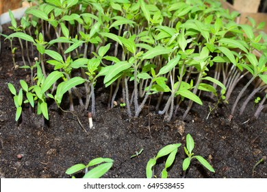 To grow tomatoes, in greenhouses, agricultural enterprise, field, small business, the germ, the seed, of new life, plant, soil, tomato,