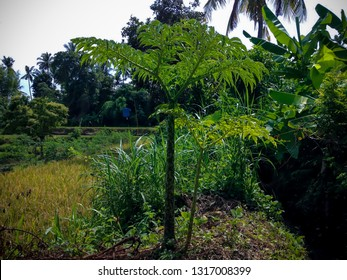 Grow Wild Elephant Foot Yam Or Amorphophallus Paeoniifolius Plants View In The Rice Fields At Ringdikit Village, North Bali, Indonesia