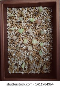 (Cactus)​ The​ lithops​cactus are growing.