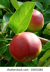 growing apples on the apple-tree branch