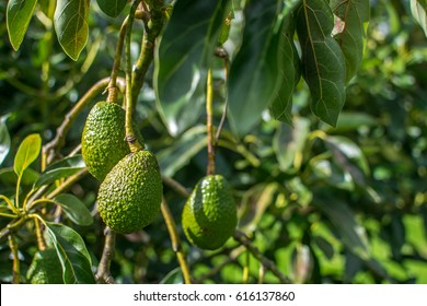 Growing Avocado on the tree