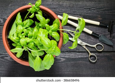 Growing basil in a flowerpot at home. Garden tools for pot plants: shovel, rake and scissors