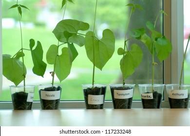 Growing bean plants in school classroom
