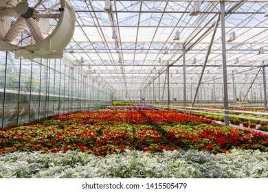 Growing beautiful flowers in the greenhouse. Agricultural background. Ecological environment. Modern glass house orangery. Rows of flowers