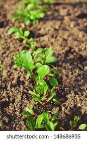 growing beet seedlings