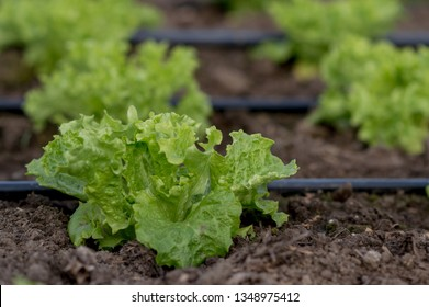 Growing Bela Rosa lettuce in a greenhouse under drip irrigation Grow salad in greenhouse pure eco frendly agriculture