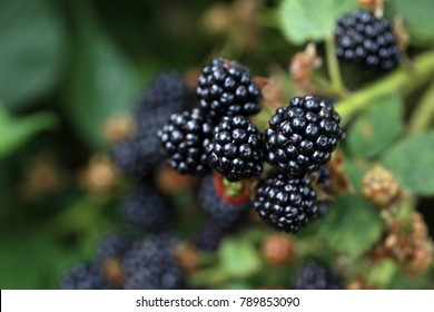 Growing blackberry. Harvest