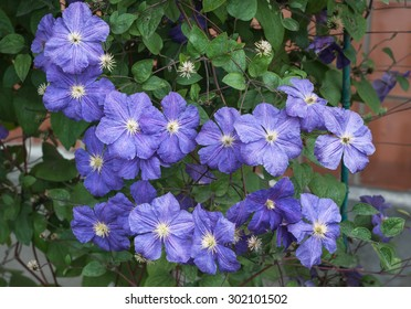 growing blue clematis
