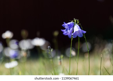 Growing bluebells bunch by a dark background