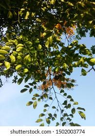 Growing branch of burma padauk tree bloom and lean down leaves