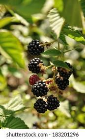 growing branch of ripe blackberry in sunlight
