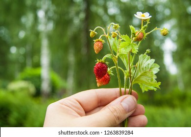 growing branch of strawberries in hand