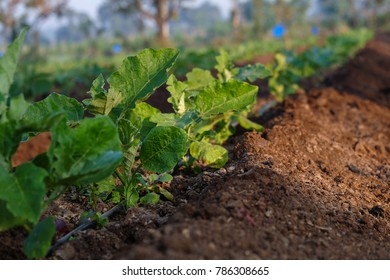 Growing brinjal plants in the farm field,  Maharashtra, India