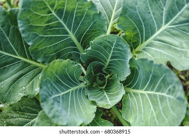 Growing cabbage background.