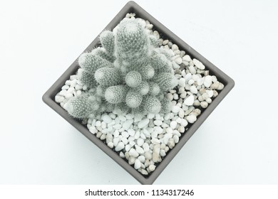 Growing of cactus in pot on white background