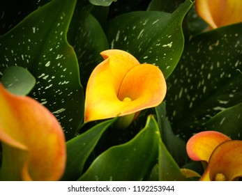 Growing Calla Lilies, Calla Lily, Natural, Bouquet, Beautiful, Colourful, Yellow, Orange